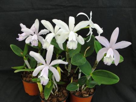 Растения из Тюмени. Краткий обзор - Страница 2 C__intermedia_%252528concolor_x_alba_flamea%252529