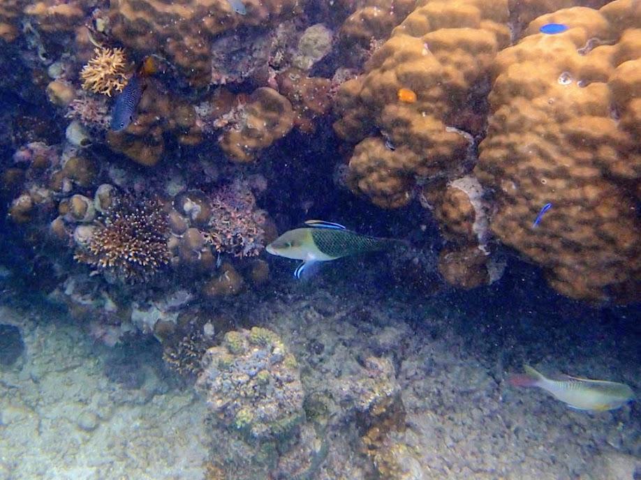 Hemigymnus melapterus (Adult Blackeye Thicklip Wrasse), Miniloc Island Resort reef, Palawan, Philippines.