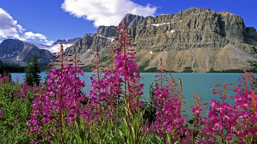 Fireweed and Bow Lake, Banff National Park, Alberta, Canada.jpg