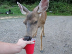 for the record a tame deer WILL drink your beer if you let it