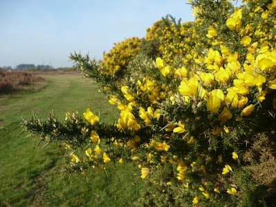 Gorse, no matter what time of the year, it is in flower