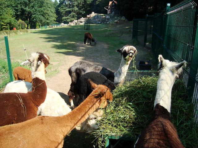 Alpaki podczas śniadania na swoim wybiegu
