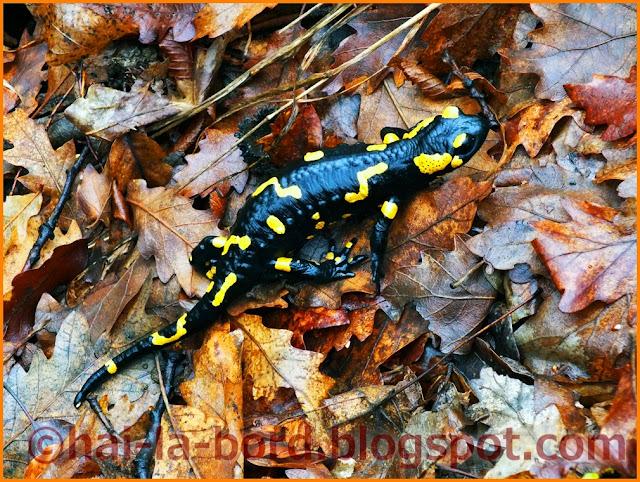 salamandra baile herculane
