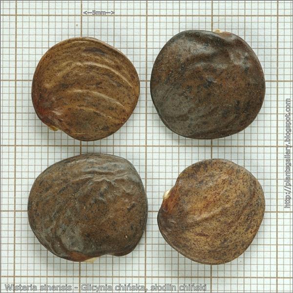 Wisteria sinensis seeds - Glicynia chińska nasiona