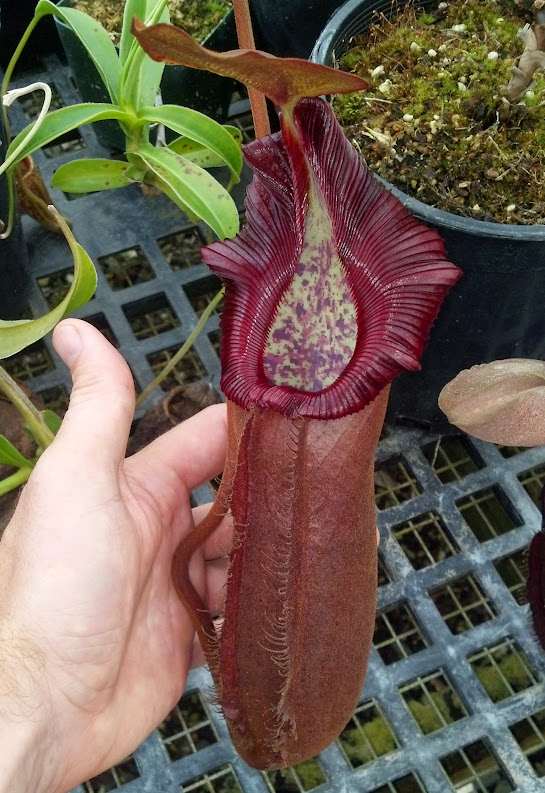 Nepenthes densiflora x robcantleyi