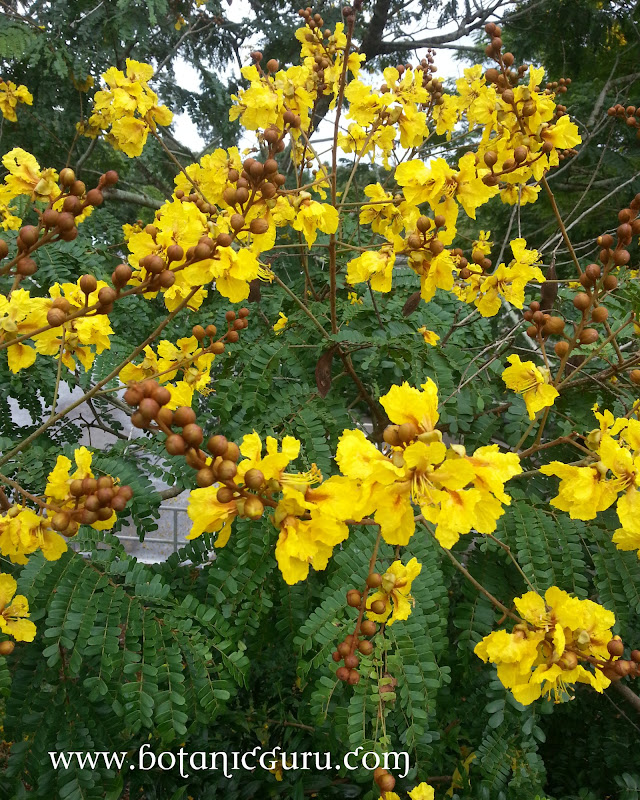 Caesalpinia sappan, East Indian Redwood, Sappan Wood flowers
