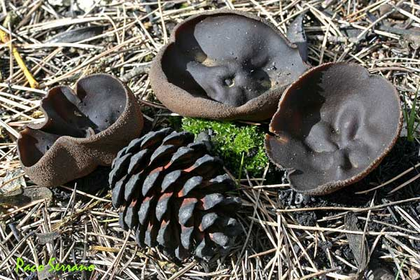 Plicaria endocarpoides