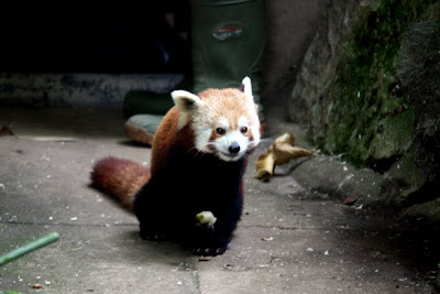 Red panda at the Bristol Zoo