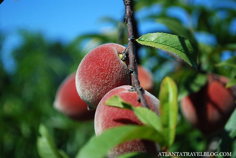Персики Джорджии