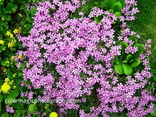 Creeping Phlox-ground cover