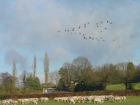 Canada Geese, Middlewood Way