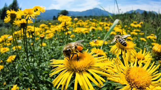 Honey Bees, Upper Bavaria, Germany.jpg
