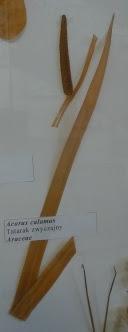 tatarak zwyczajny acorus calamus okaz zielnikowy