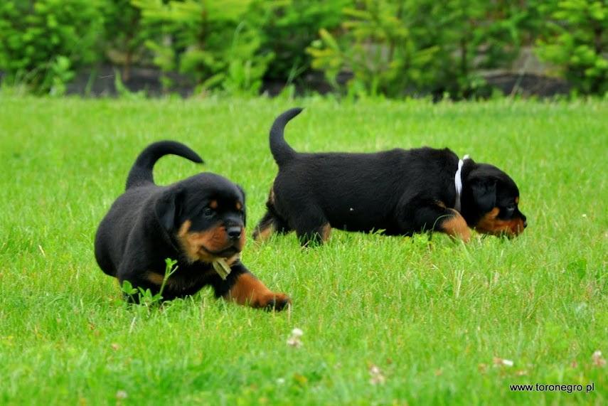 Maszerujące rottweilery szczeniaki miłe