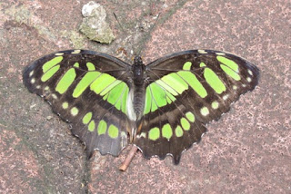 Green and black butterfly.