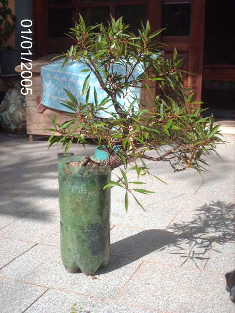 Ficus Nerifolia, Uma raiz de 3 anos... PICT0745