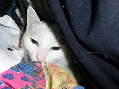 服の山に隠れる白猫ユキちゃん