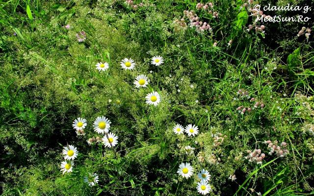 Flori de camp. Margarete. Sanziene