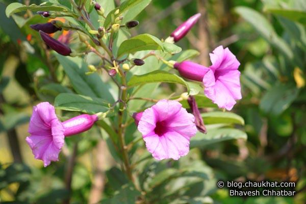 3 Morning Glory flowers on way to Kas plateau