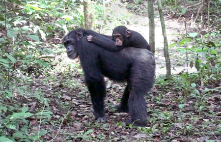 Adoption in Chimps