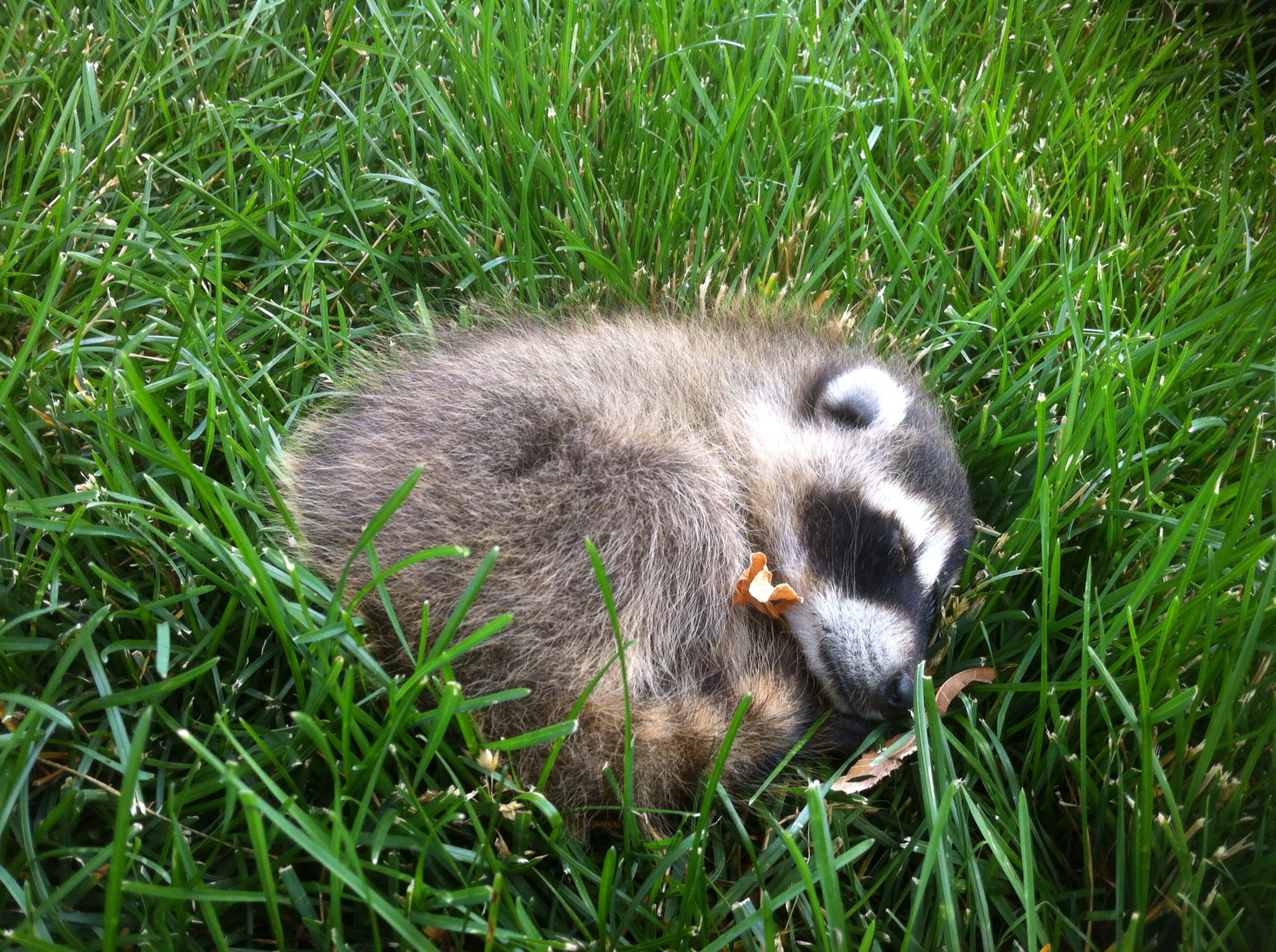 Nick and Rosemary's Blog: Baby Raccoon in our backyard