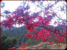 杉林溪楓紅層層