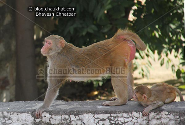 Monkeys of Jaipur - Bhadu stretching before rest