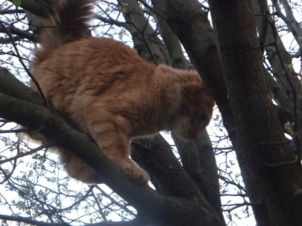 close-up of Merlin an orange tabby on a tree branch