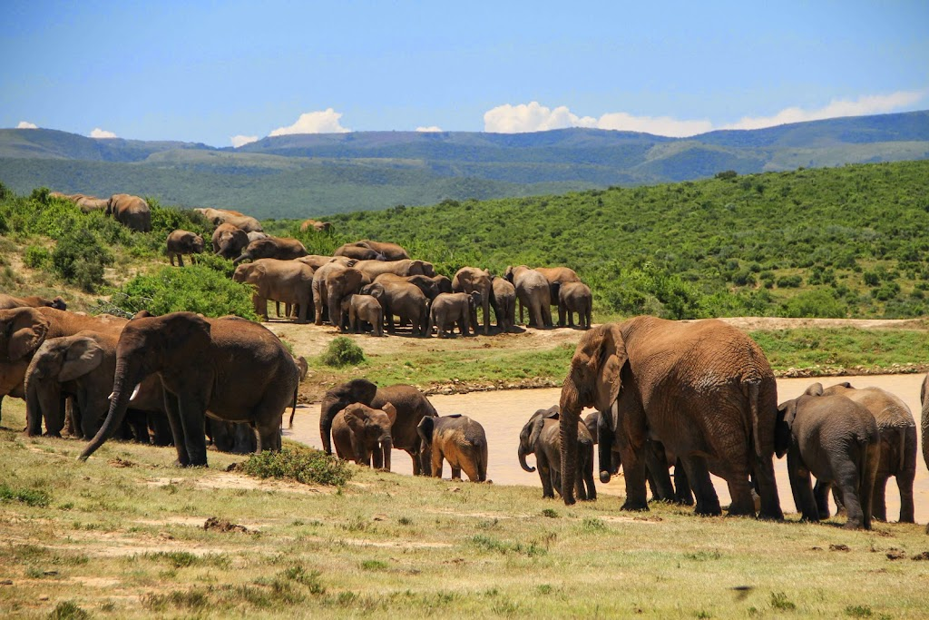 African elephants walking
