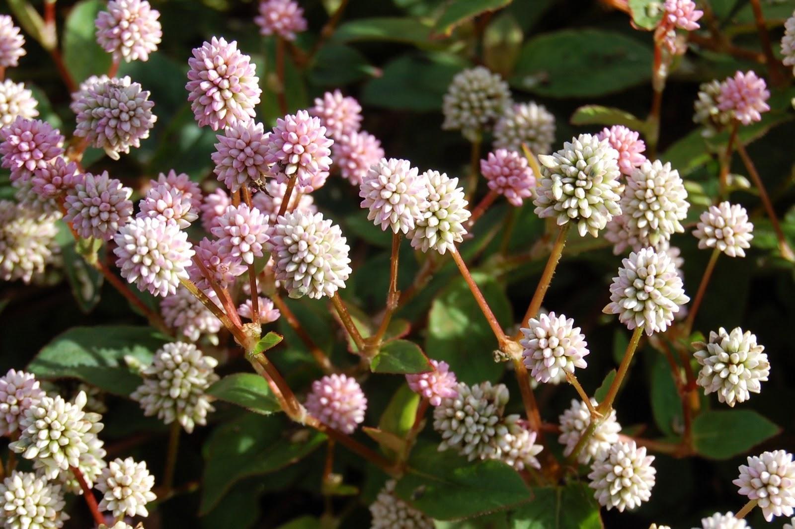 Plantas Beleza e Diversidade Polígonodejardim (Polygonum