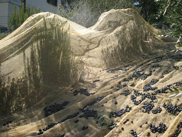 Nets for olive picking, Tuscany, Italy