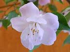 淡桃色 八重咲き 極小輪 有香