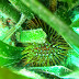 Oursin vert