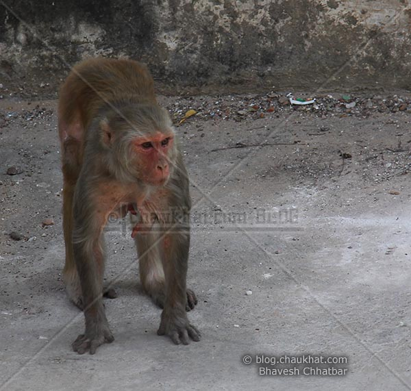 Monkeys of Jaipur - Bhadu - the terror