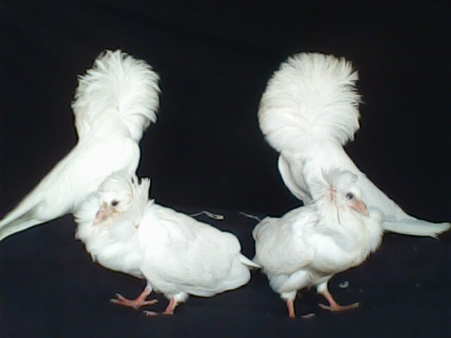jacobin pigeon - photo #29