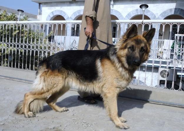 Olx Lahore Animals – Billy Knight