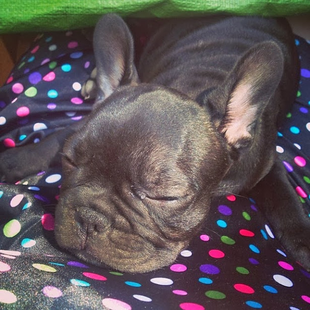 Instagram Puppies: French Bulldog