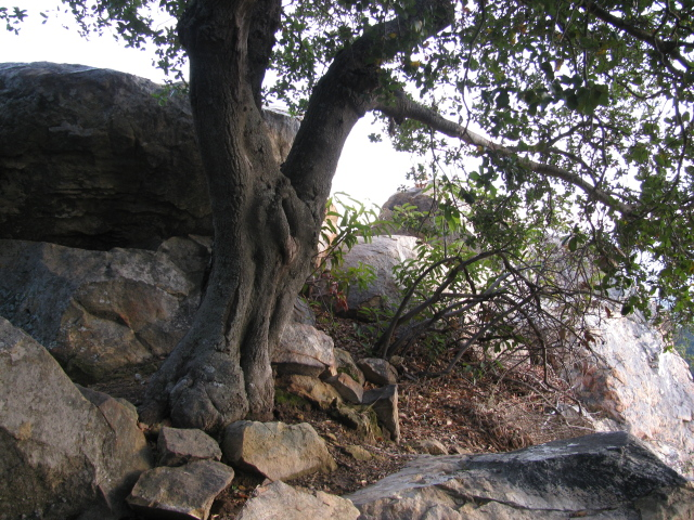 a familiar tree by the pinnacle