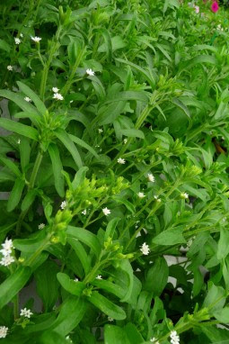 Stewia Stevia rebaudiana