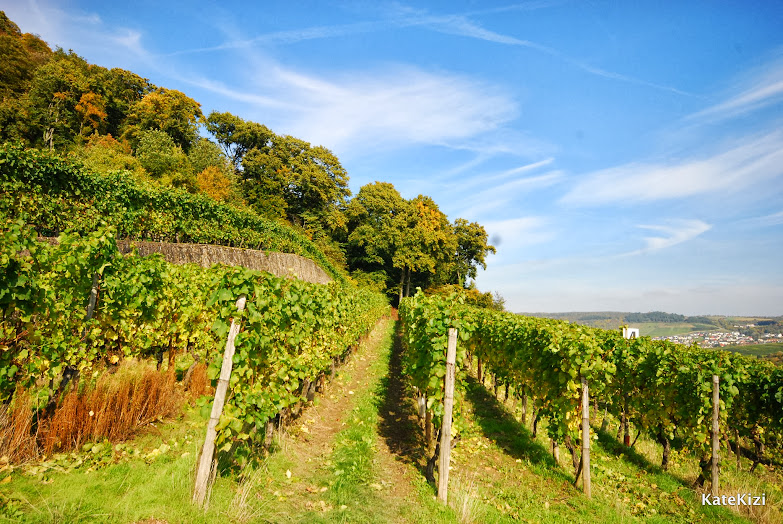 Каждый клочок земли засажен виноградом