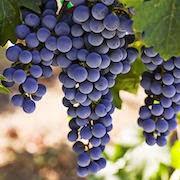 сонник виноградная лоза