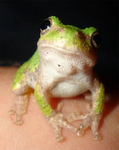 The Frog As Your Totem
