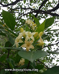 Fagraea fragrans