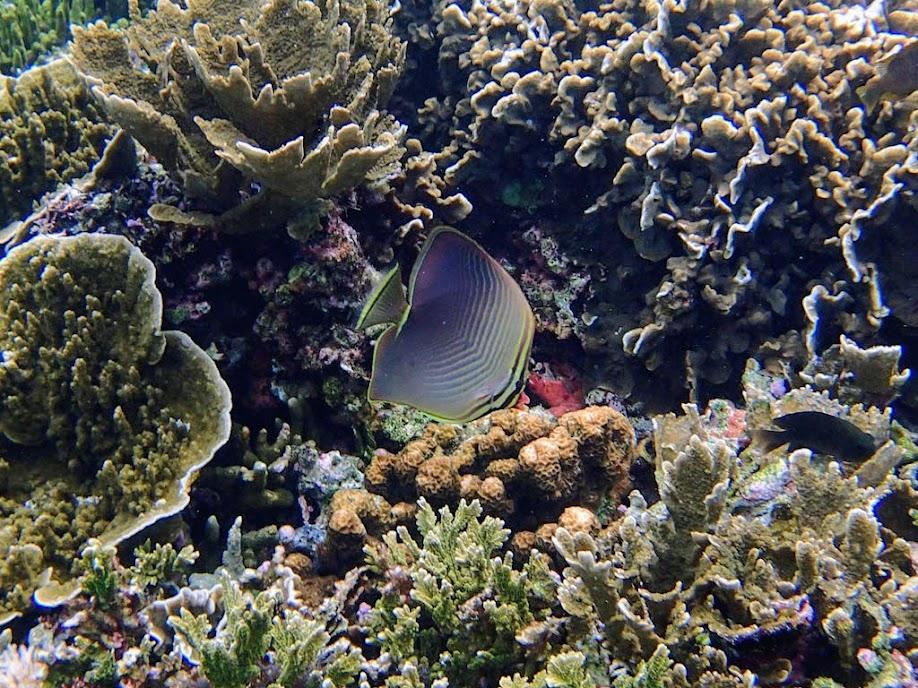 Chaetodon baronessa (Easter Triangular Butterflyfish), Small Lagoon, Miniloc Island, Palawan, Philippines.