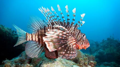 Lion Fish, Mikanda Reef, Zanzibar.jpg