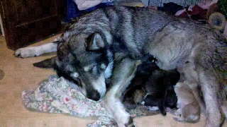Shika, our hybrid wolf mama, rests after delivering 8 pups