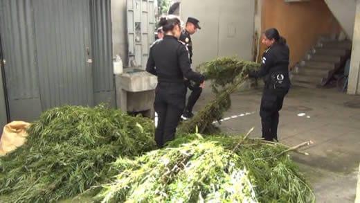 Detienen a persona que cuidaba plantación de marihuana