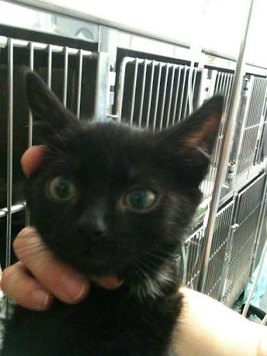 3 gatitos de 2 meses y mami de 1 año dejados en clinica (en Vitoria) ¡ADOPTADOS! IMG_1710