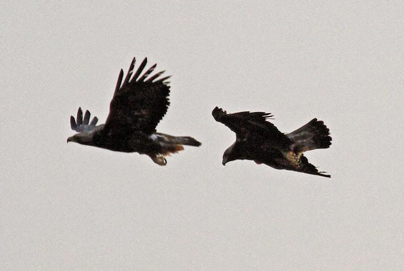 Golden Eagle update (mid-April 2015) » Treshnish Wildlife Diary