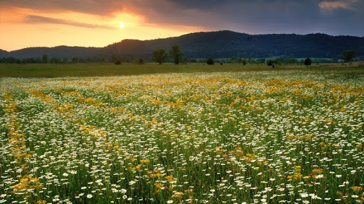 Cades Cove Wildflowers, Great Smoky Mountains National Park, Tennessee.jpg